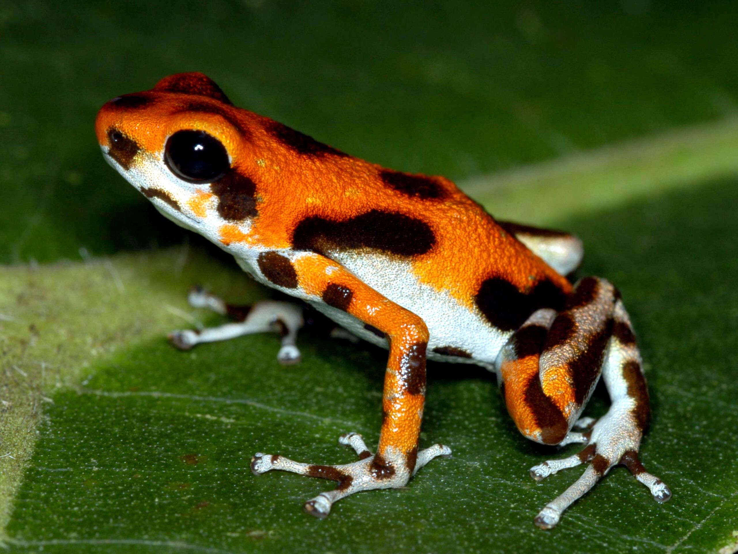 Oophaga pumilio from Isla Bastimentos, Bocas del Toro, Panama - by C. Van Der Lingen.