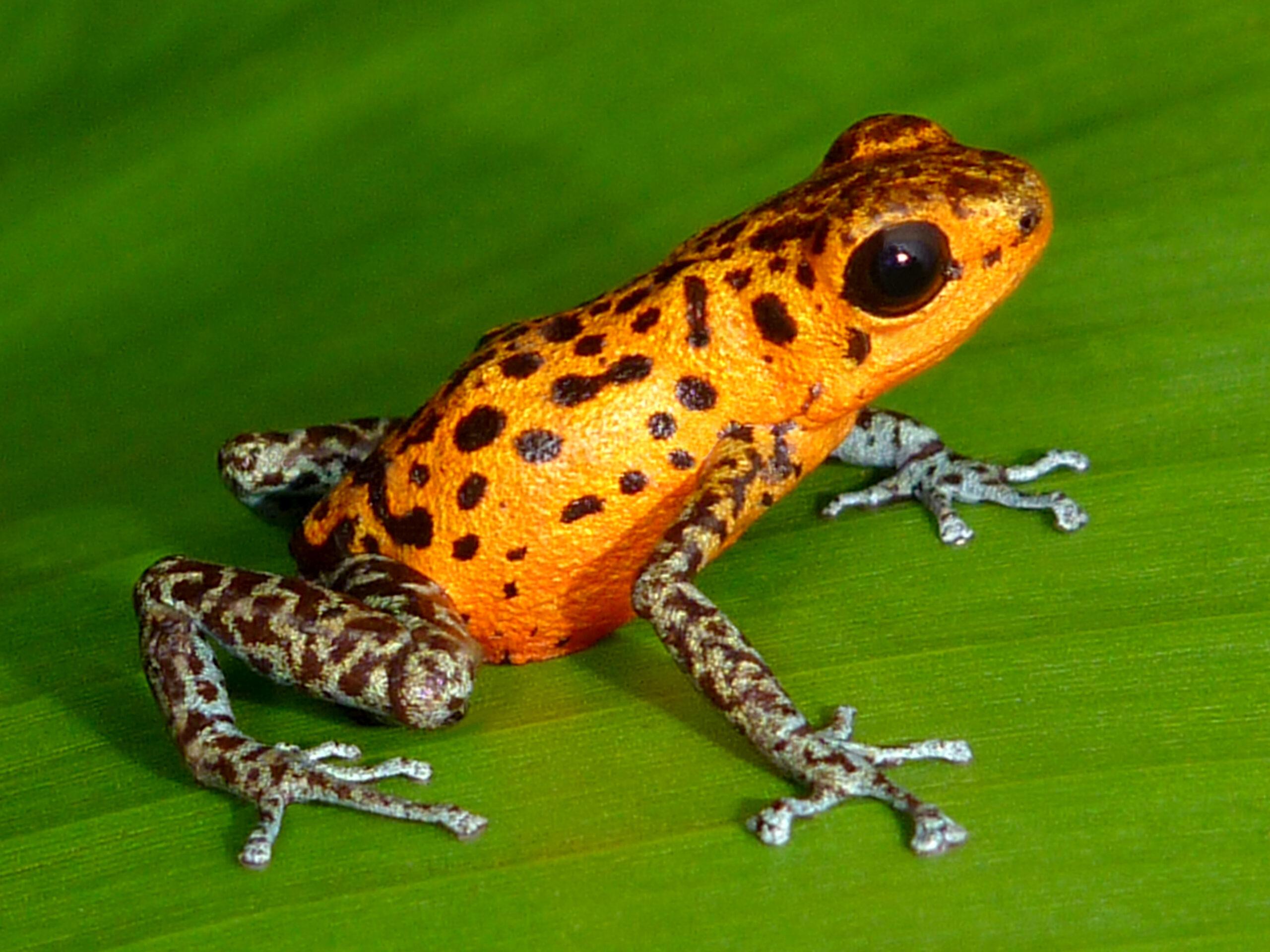 Oophaga pumilio from Rio Branco, Bocas del Toro, Panama - by C. Van Der Lingen.