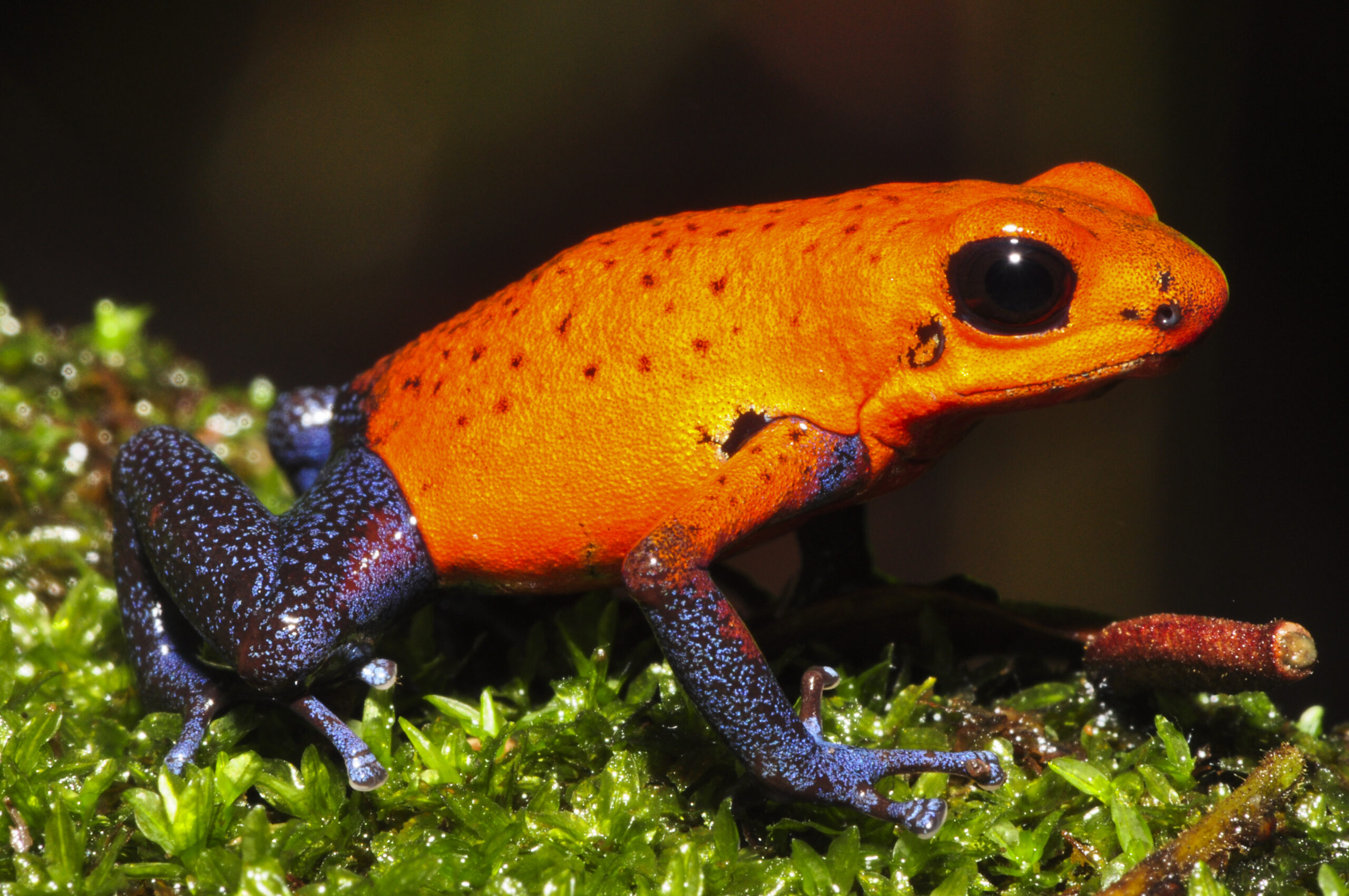 Oophaga pumilio from Heridia, Costa Rica - by J. Van der Meulen.