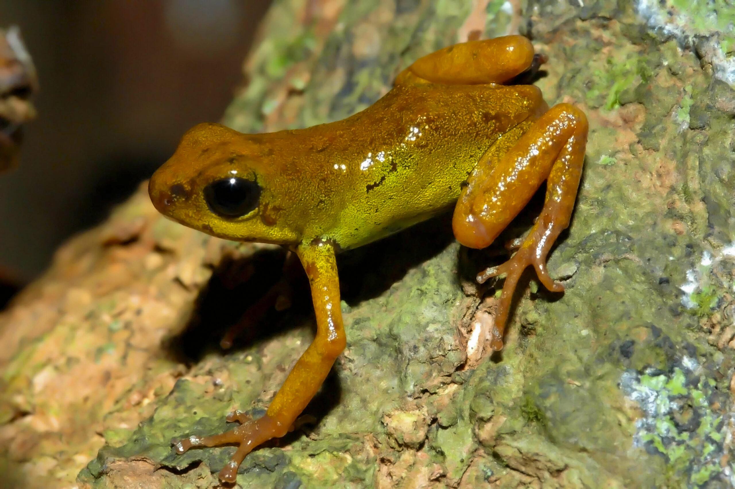 Oophaga pumilio from Isla Pastores, Bocas del Toro, Panama - by J. Van der Meulen.