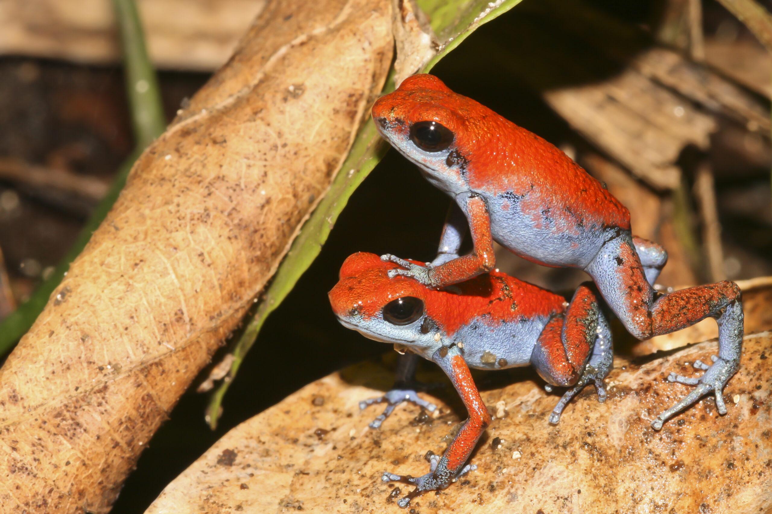 Oophaga pumilio pair from Escudo de Veraguas, Bocas del Toro, Panama - by G. Benaets.