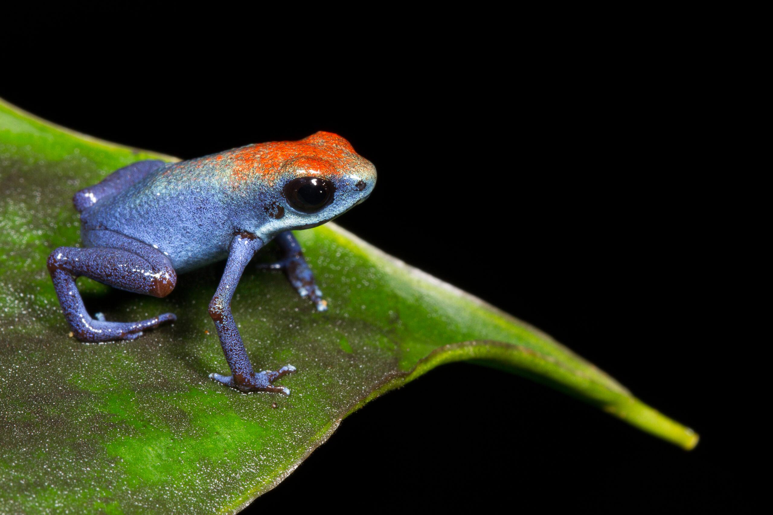 Oophaga pumilio from Escudo de Veraguas, Bocas del Toro, Panama - by J. Lawrence.