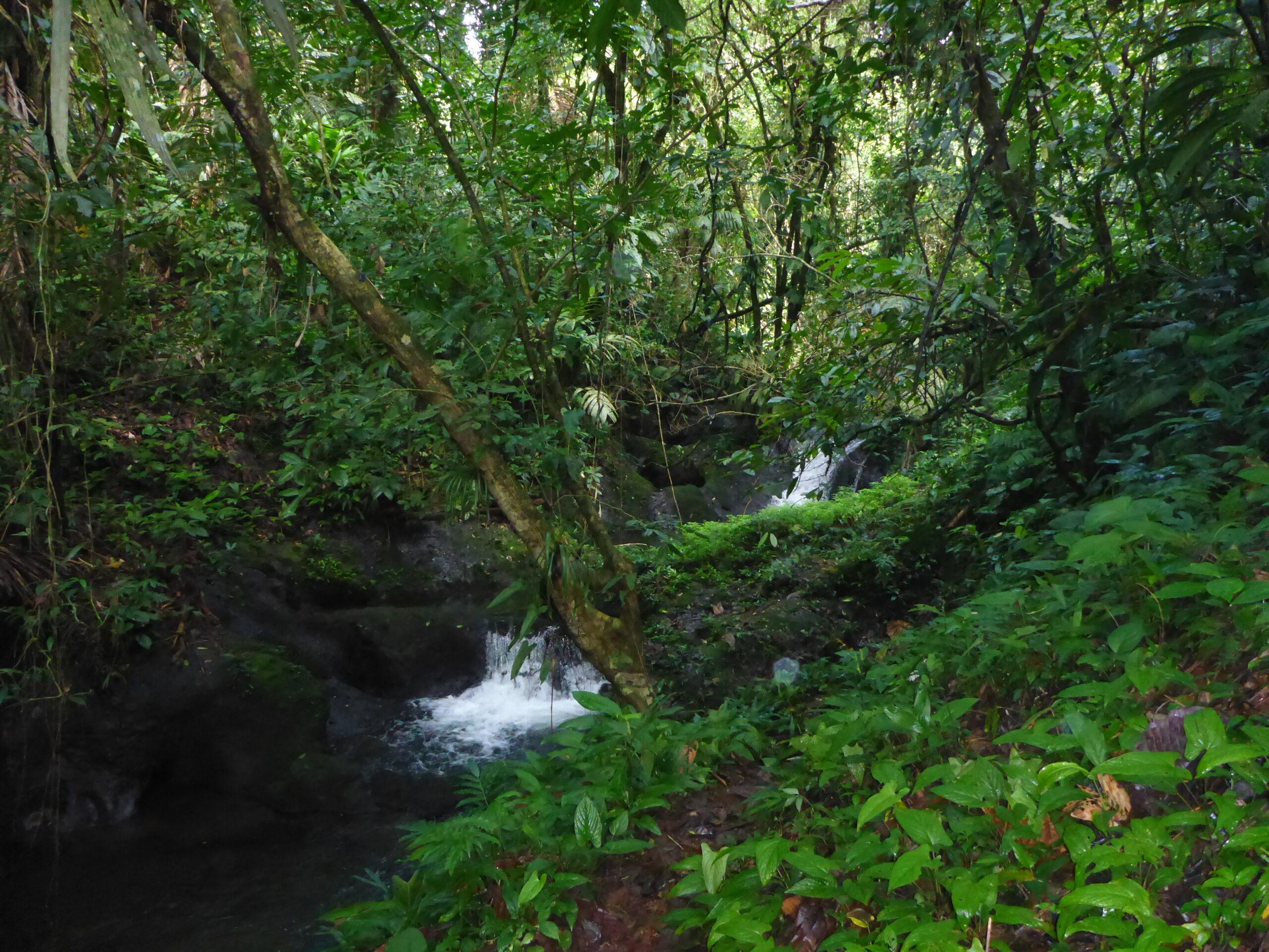Biotope of Oophaga pumilio on the Kusapin Peninsula, Bocas del Toro, Panama - by E. Van Heygen.