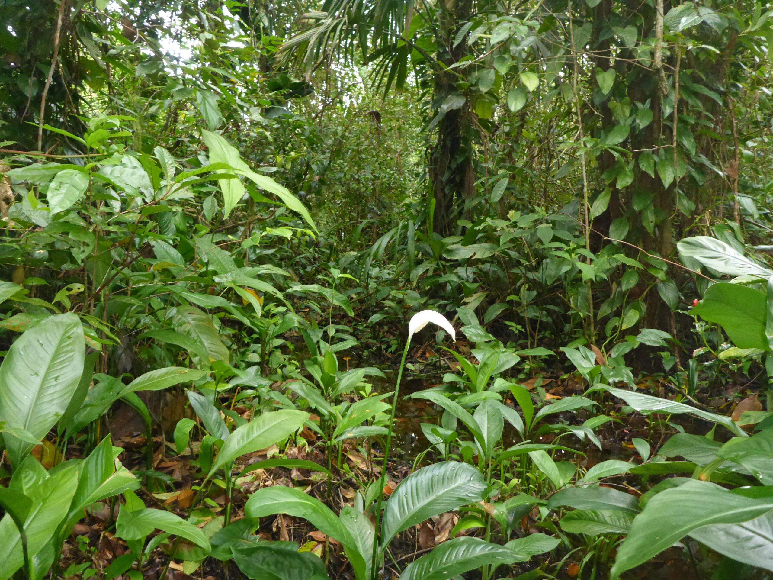 Biotope of Oophaga pumilio on Escudo de Veraguas, Bocas del Toro, Panama - by E. Van Heygen.