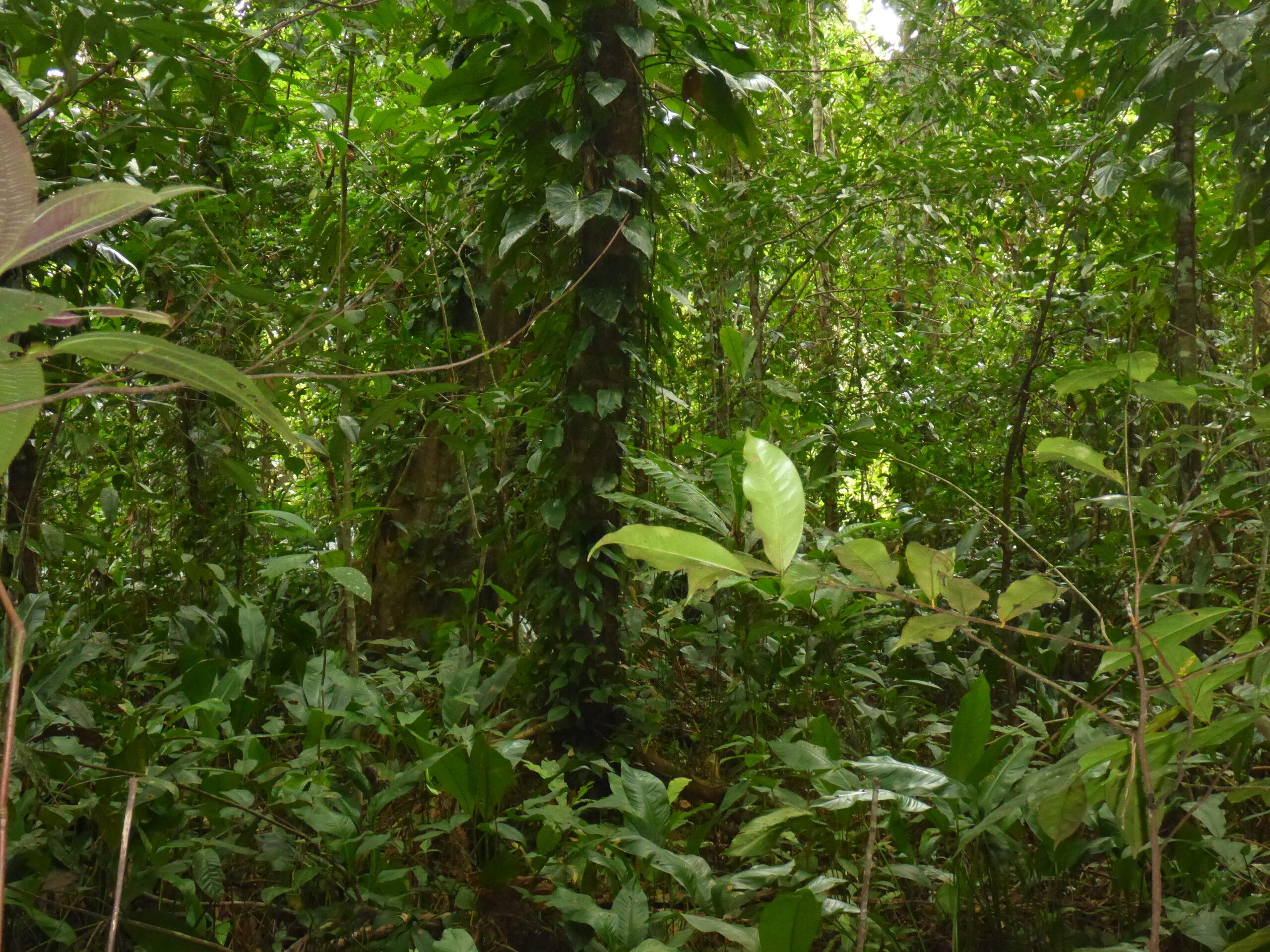 Biotope of Oophaga pumilio on Isla Cristobal, Bocas del Toro, Panama - by E. Van Heygen.
