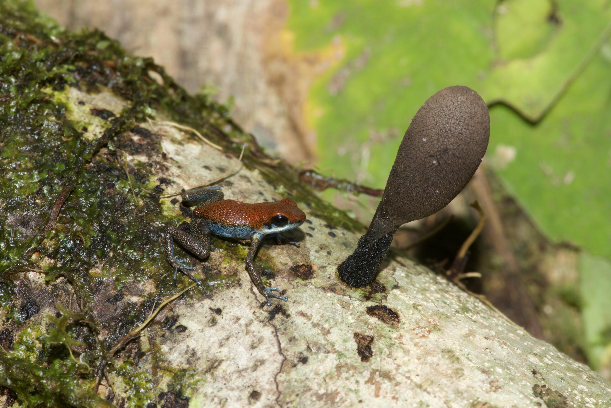Oophaga pumilio from Kusapin Peninsula, Bocas del Toro, Panama - by E. Van Heygen.