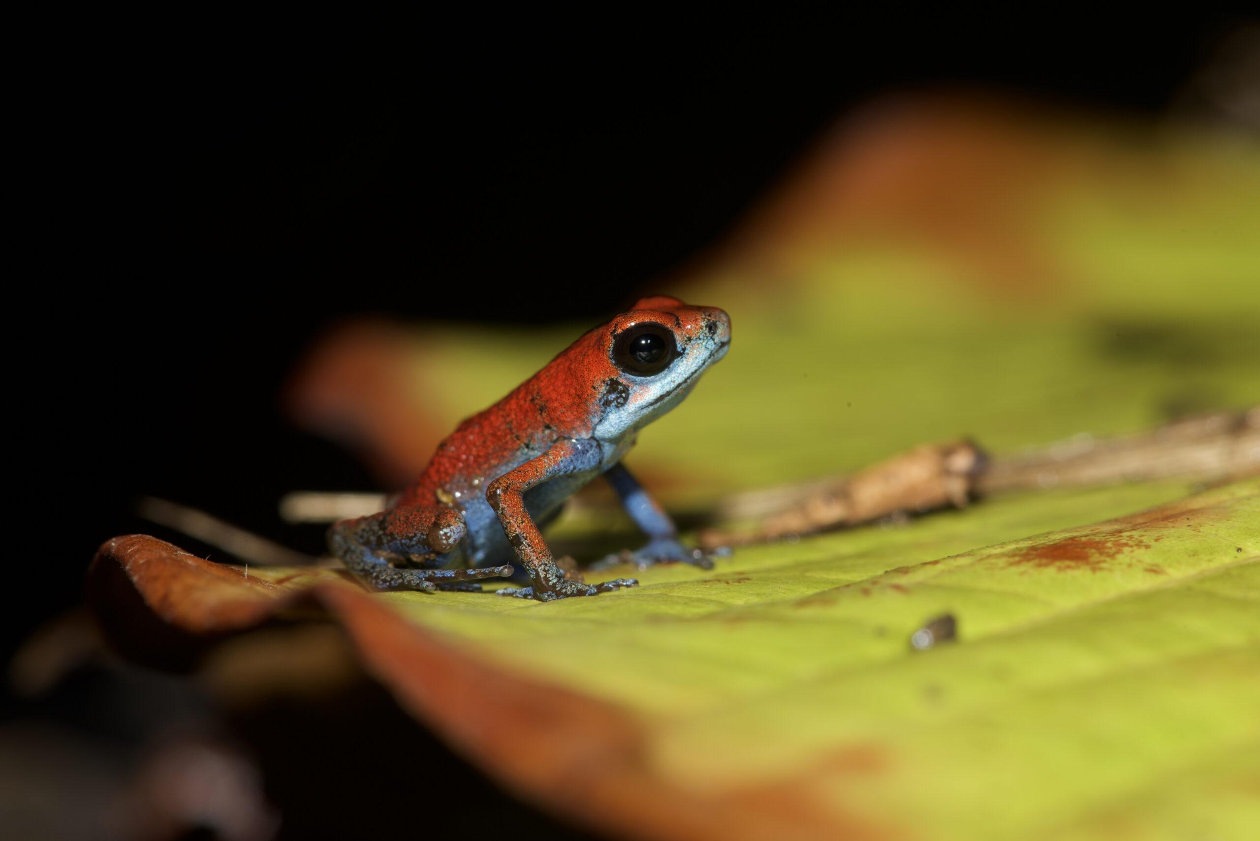 Oophaga pumilio from Isla Escudo de Veraguas, Bocas del Toro, Panama - by E. Van Heygen.