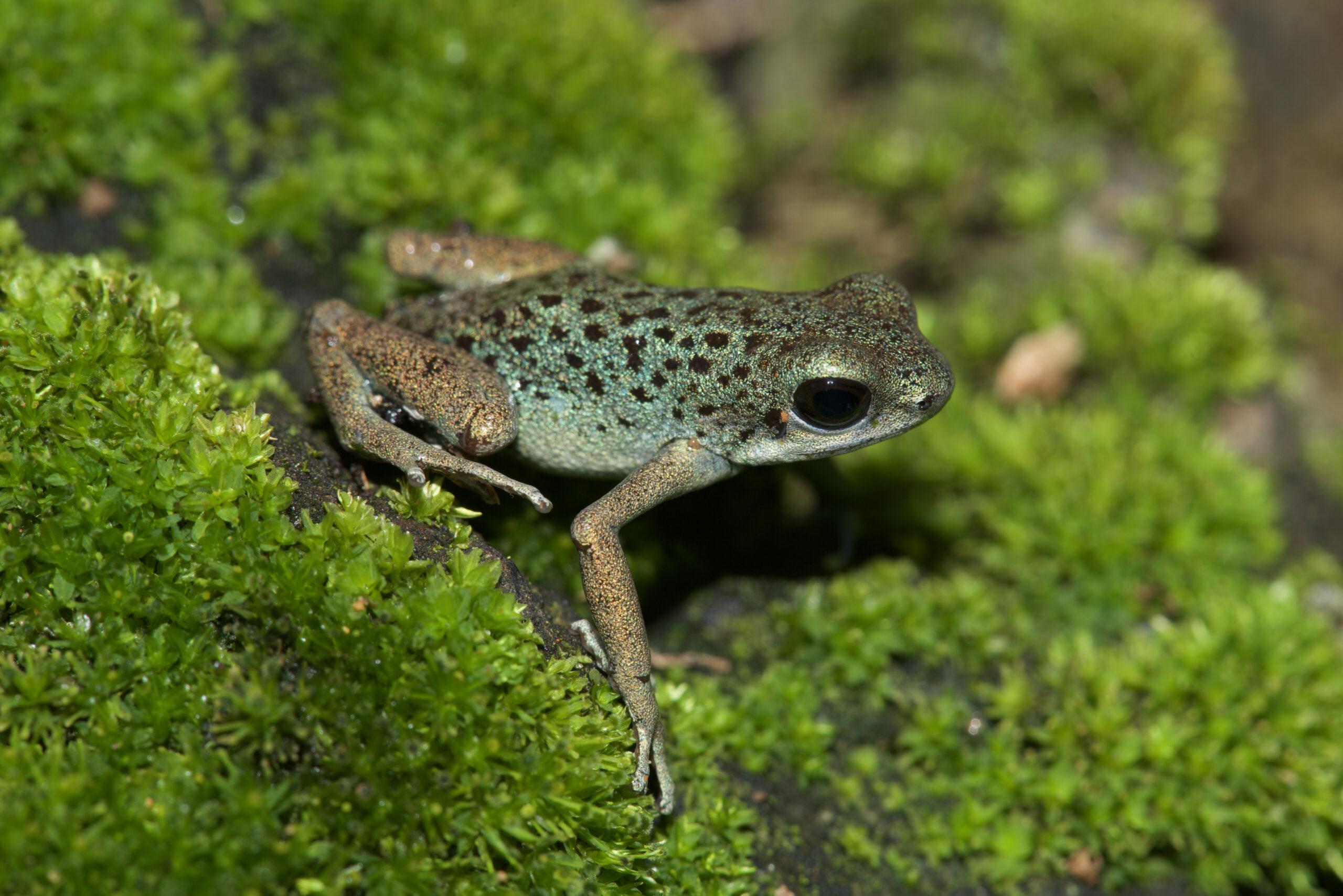 Oophaga pumilio from Isla Loma Partida, Bocas del Toro, Panama - by E. Van Heygen.