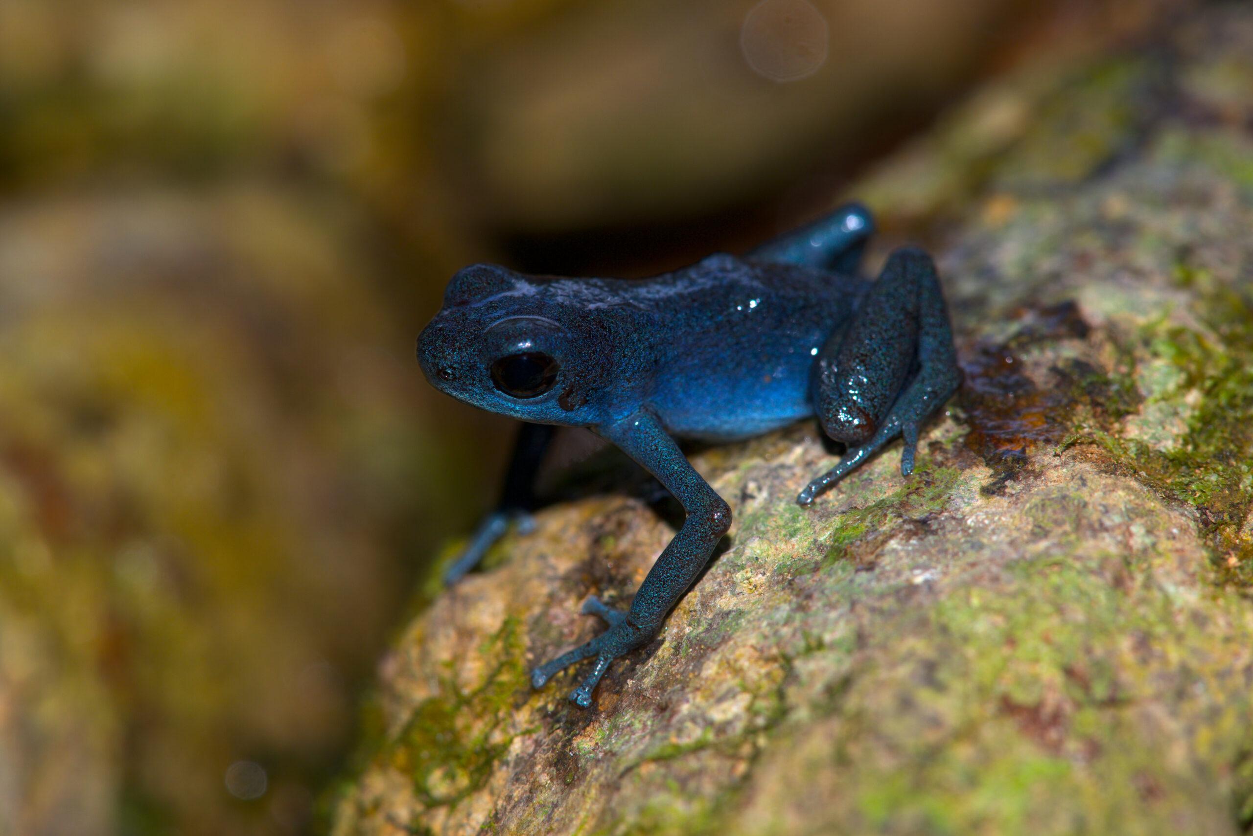 Oophaga pumilio from Tierra Oscura, Bocas del Toro, Panama - by E. Van Heygen.