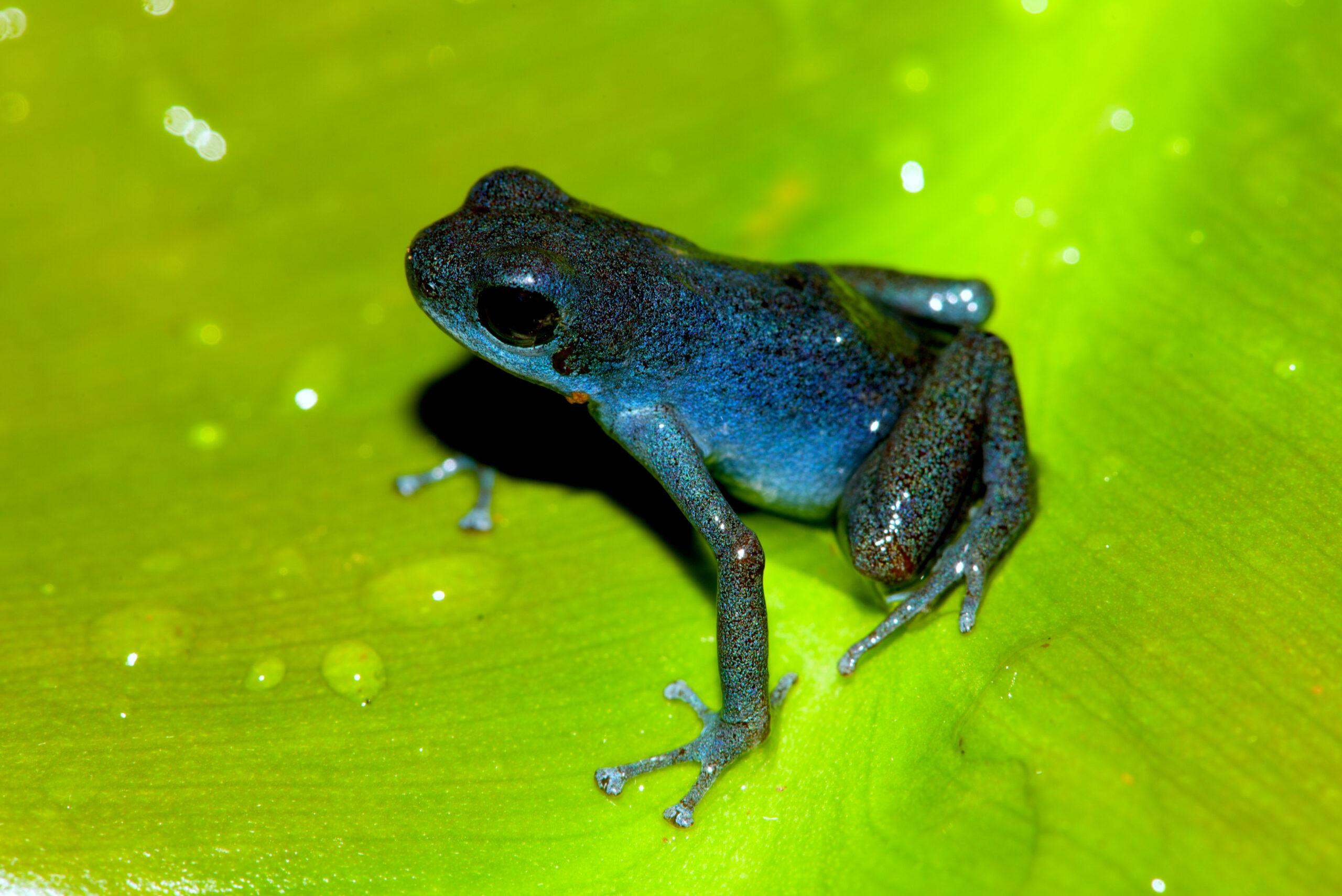 Oophaga pumilio from Tierra Oscar, Bocas del Toro, Panama in their habitat- by E. Van Heygen.