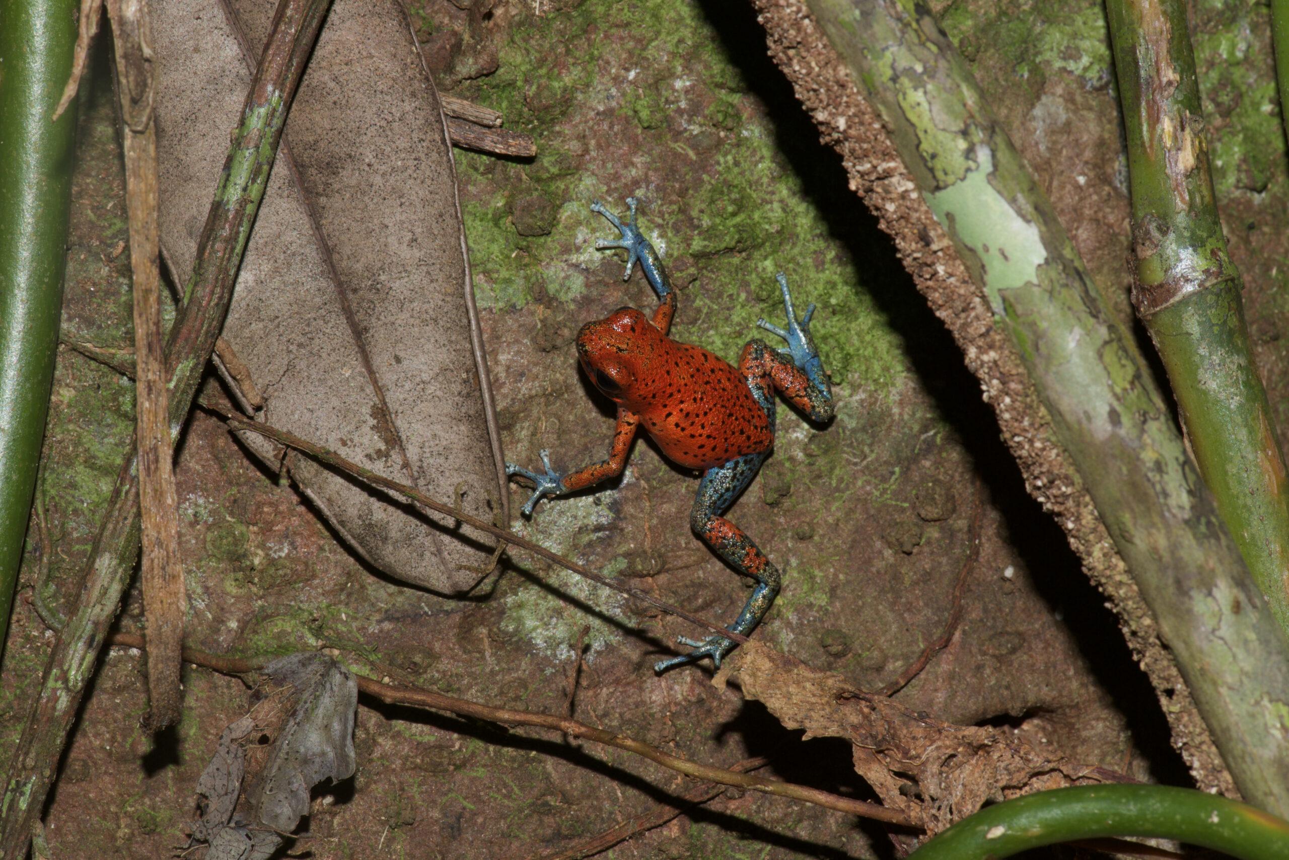 Oophaga pumilio from Isla Cristobal, Bocas del Toro, Panama - by E. Van Heygen.