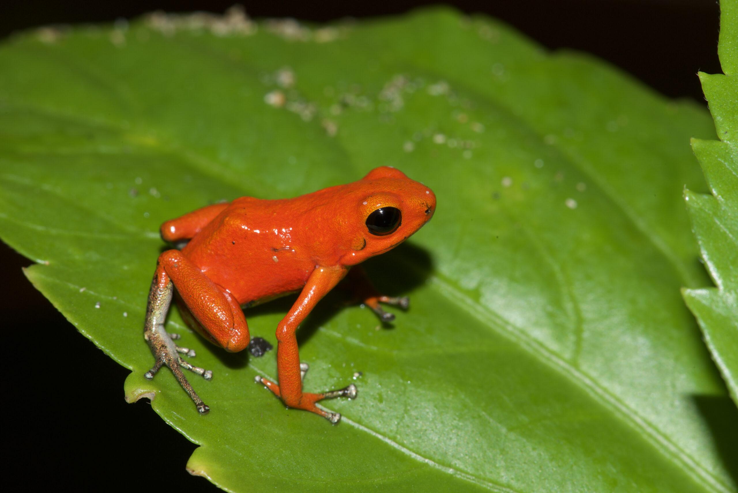 Oophaga pumilio from Isla Solarte, Bocas del Toro, Panama - by E. Van Heygen.