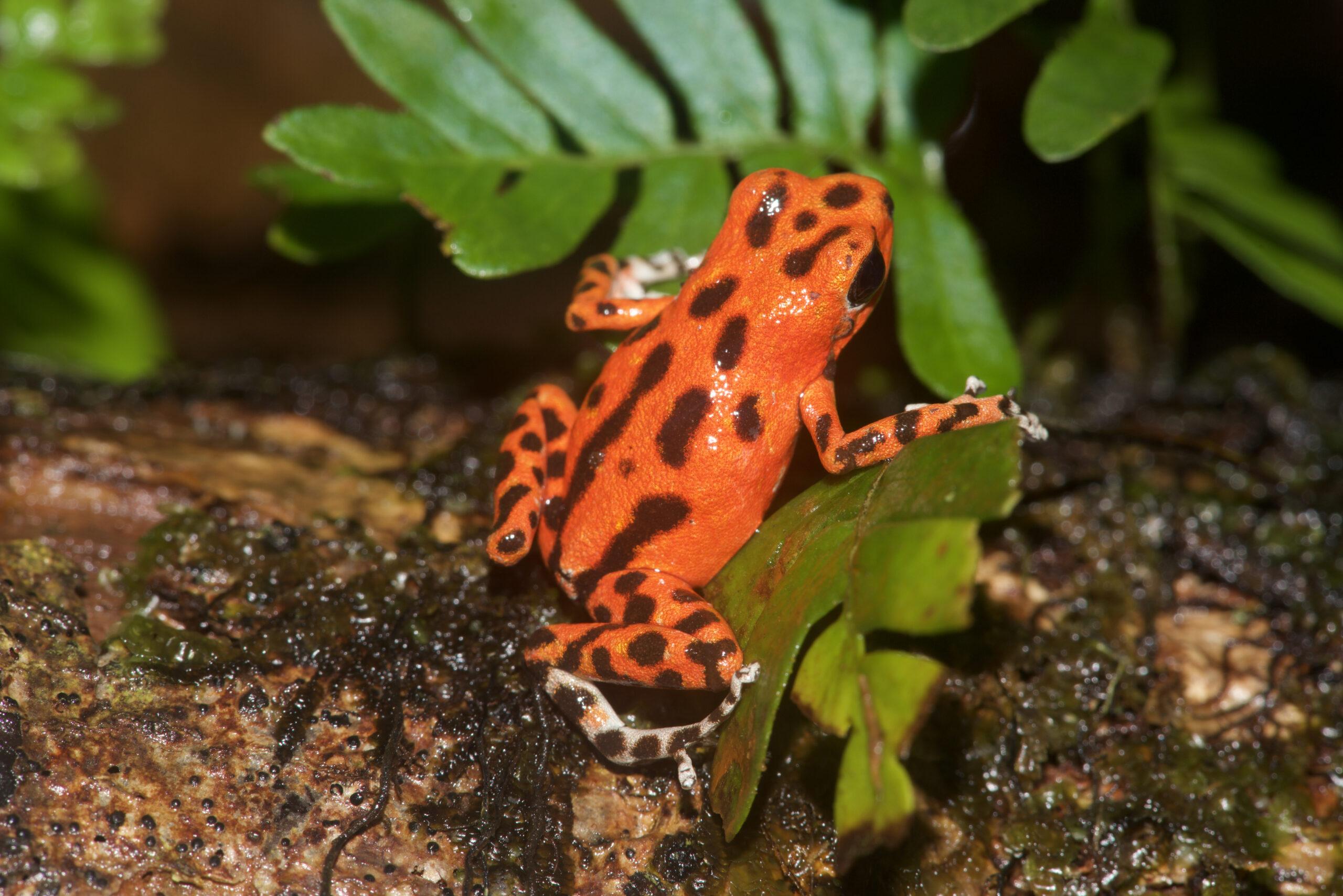 Oophaga pumilio from Isla Bastimentos, Bocas del Toro, Panama - by E. Van Heygen.