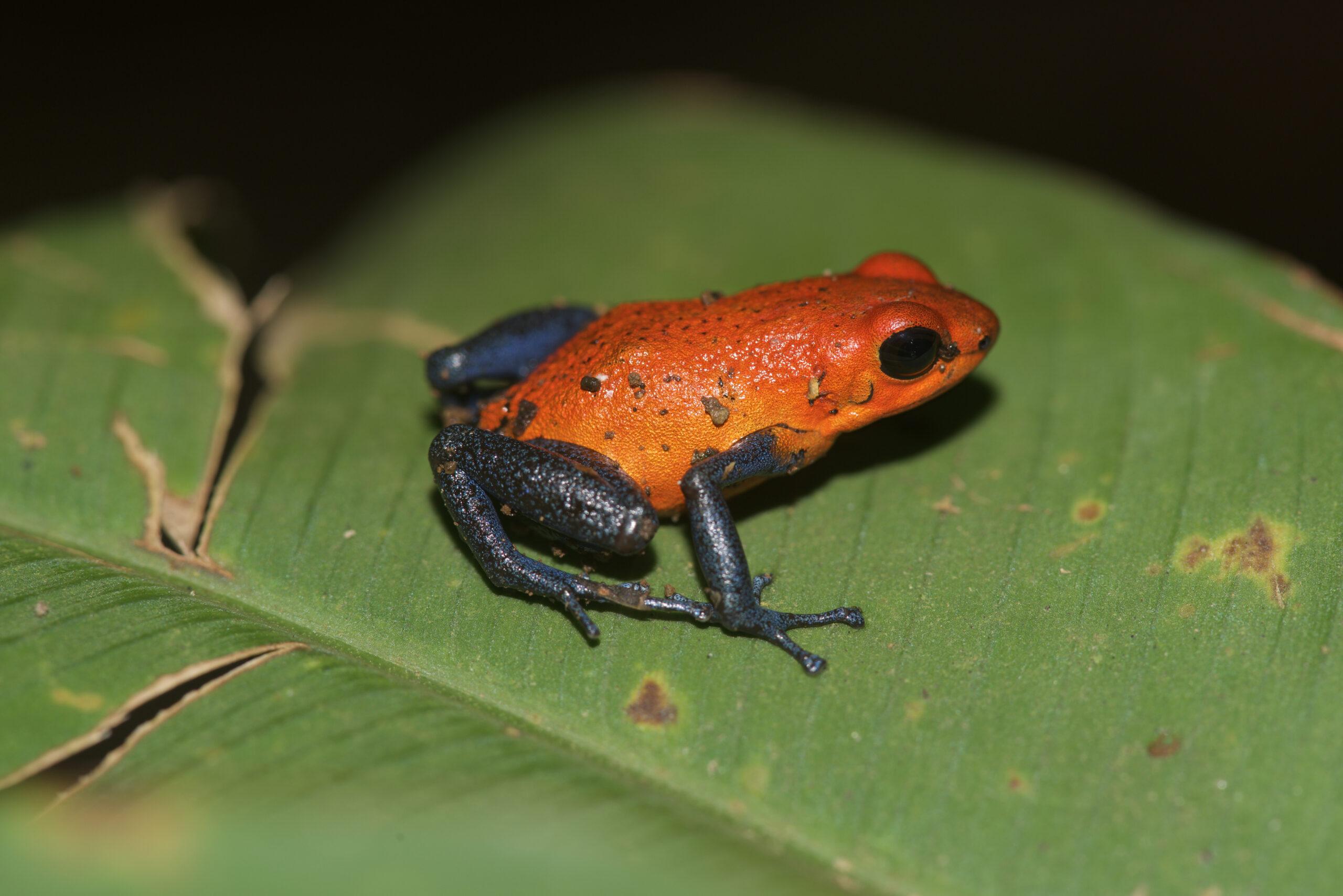 Oophaga pumilio from Fortuna, Costa Rica - by E. Van Heygen.